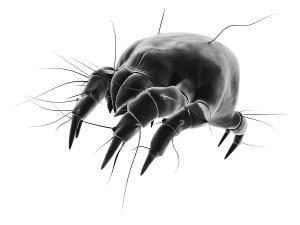 Dust mite Picture